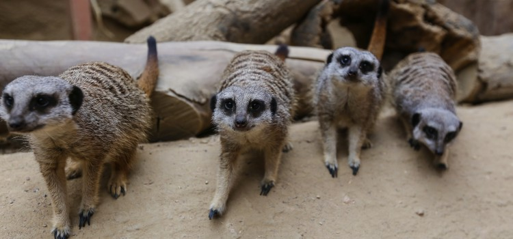 WELCOME BACK TO THE MEERKATS